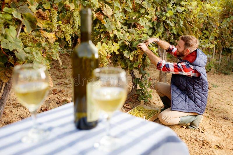 年轻酿酒商收获在他的葡萄园的葡萄 免版税库存图片
