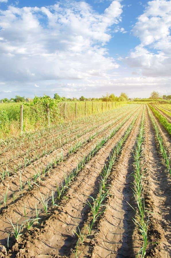 年轻韭葱行在一个农场的在一好日子 r 环境友好的产品 农业和种田 库存图片