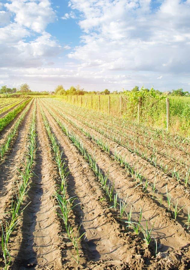年轻韭葱行在一个农场的在一好日子 r 环境友好的产品 农业和种田 免版税库存图片