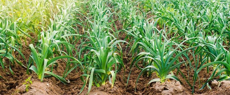年轻韭葱行在一个农场的在一好日子 r 环境友好的产品 农业和种田 免版税库存照片