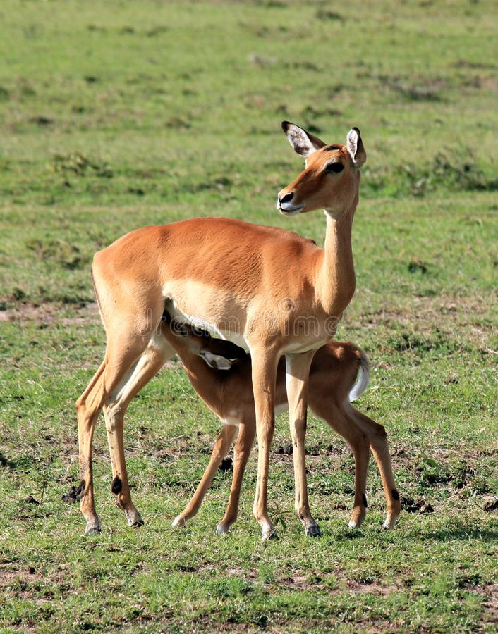 年轻飞羚哺养 免版税库存照片