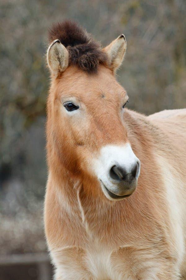 年轻马属ferus przewalskii在布拉格动物园里 库存图片