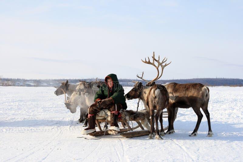 年轻驯鹿交配动物者在Yamal寒带草原中的冬天 免版税库存图片
