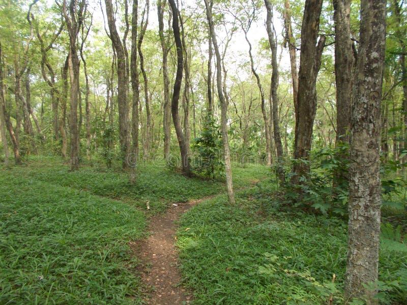 年轻黄檀属latifolia或印度红木森林 免版税库存图片