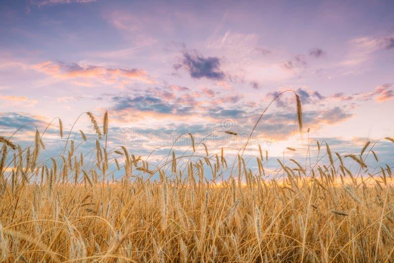 年轻黄色麦田夏天农业风景  麦子 库存照片
