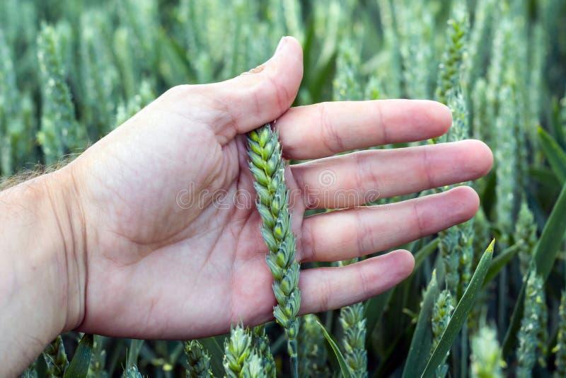 年轻,绿色麦子的小尖峰在农艺师的棕榈的,以领域为背景 免版税库存照片