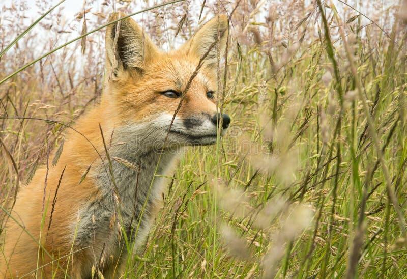 年轻Fox在高草原 库存照片