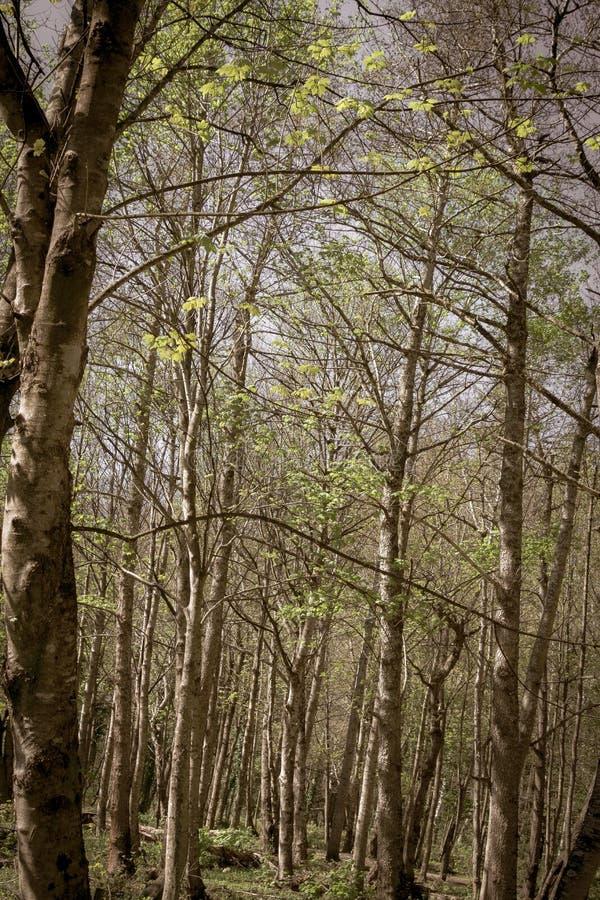 年迈的图象桦树森林 库存照片