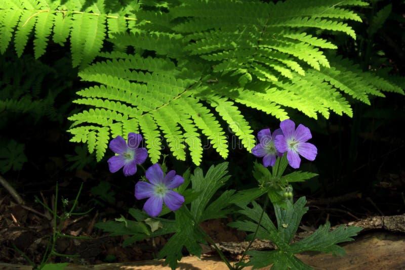 年龄蕨开花冰紫色线索 库存照片