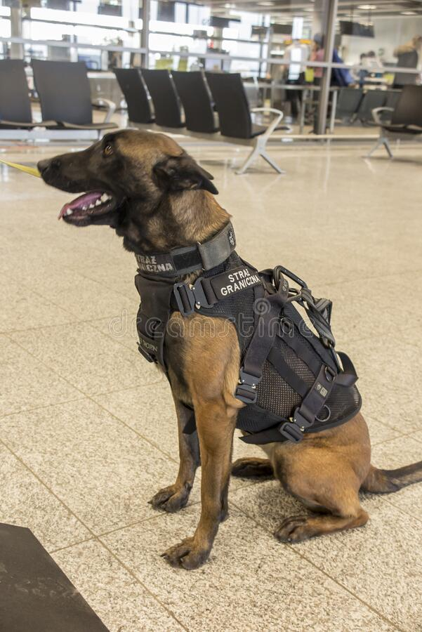 2020年1月25日,波兰,卡托维兹:一只训练有素的狗,帮助边防部门在卡托维兹皮洛维兹发现毒品和爆炸物 免版税库存照片