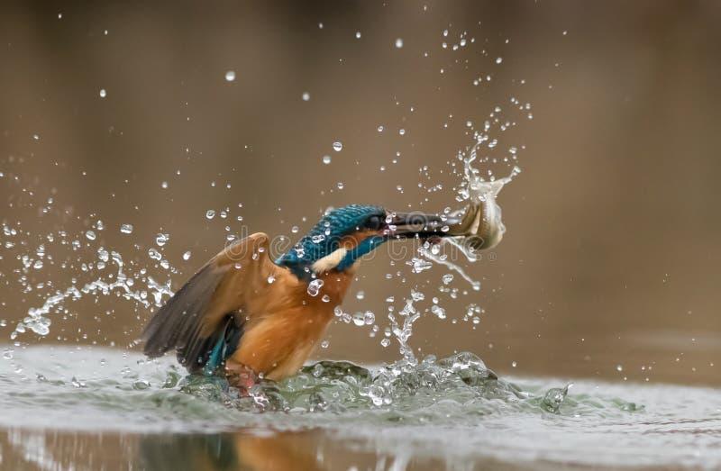 幸福蓝色鸟  库存图片