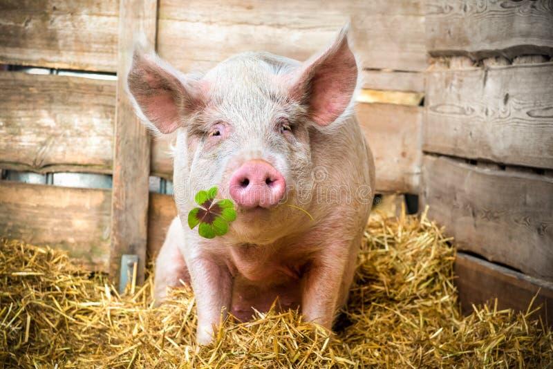 幸运的猪 免版税库存照片