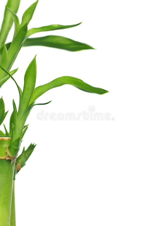 幸运的竹子 库存照片