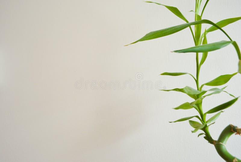 幸运的竹植物正面图背景 库存照片
