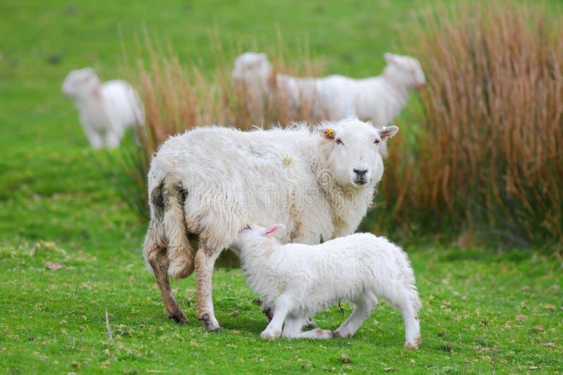 幼儿羊羔 免版税库存图片