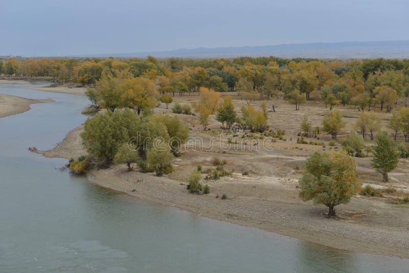 幼发拉底河在额尔齐斯河旁边的白杨树森林在新疆中国 免版税图库摄影