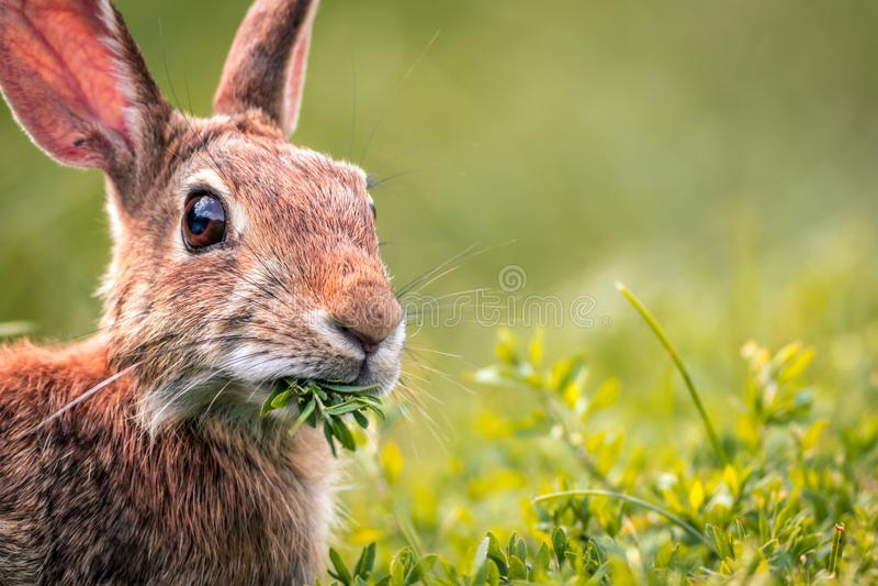 幼小东部棉尾巴兔子在新绿色用力嚼 库存照片