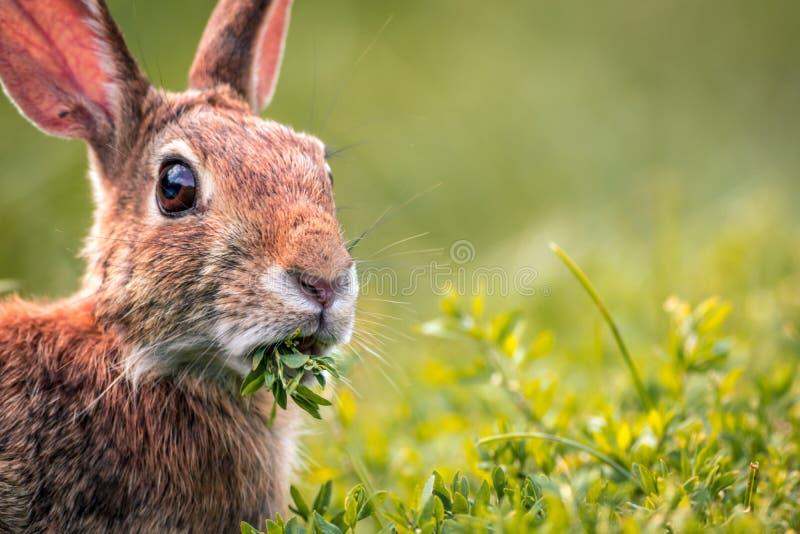 幼小东部棉尾巴兔子在新绿色用力嚼 免版税库存图片