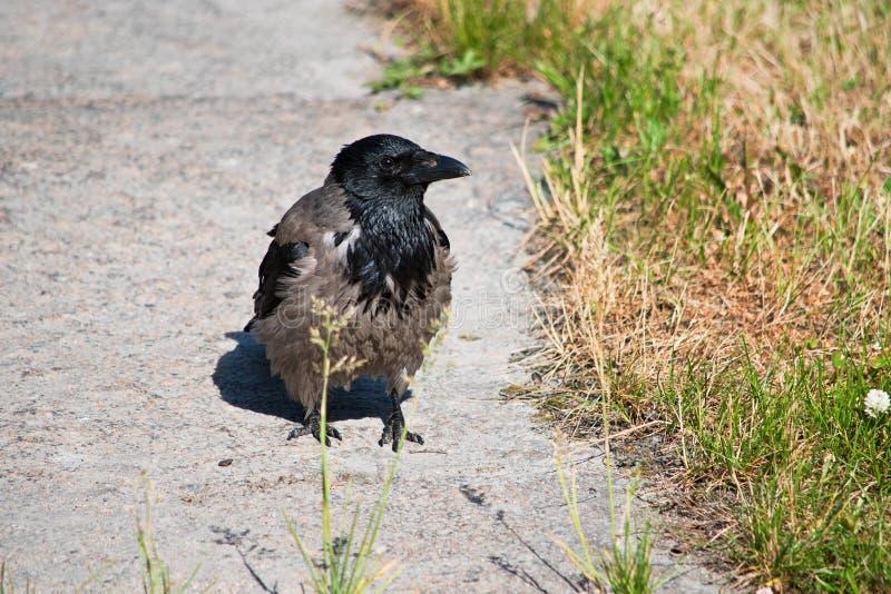 幼小乌鸦是接近的 免版税库存照片