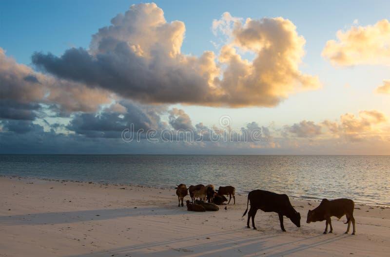 幼小公牛和母牛在黎明在海洋支持 桑给巴尔,坦桑尼亚,东非 库存照片