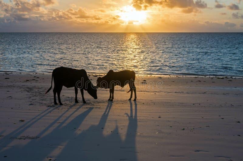 幼小公牛在海洋的黎明支持 坦桑尼亚桑给巴尔 免版税库存图片