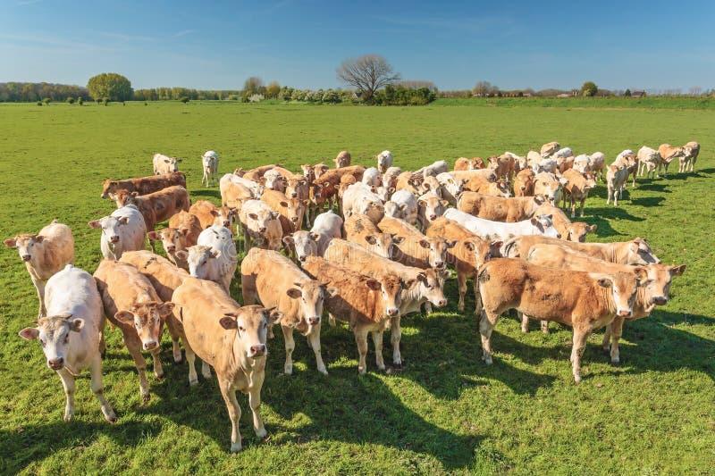 幼小公牛牧群在荷兰 库存图片