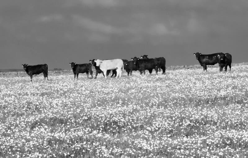 幼小公牛牧群的超现实的单色图象站立在春天草甸的在可以与在草剧烈的天空的明亮的花 免版税库存照片