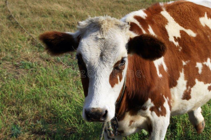 幼小公牛 免版税库存图片