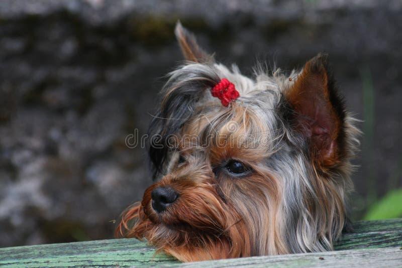 兽交小�9�dy��_幼小公约克夏狗画象,装配与头发红色橡皮筋儿尾巴在头