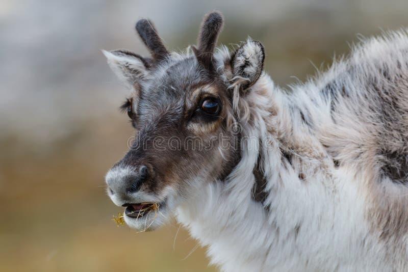 幼小卑尔根群岛驯鹿枪口与草的在嘴 免版税库存照片