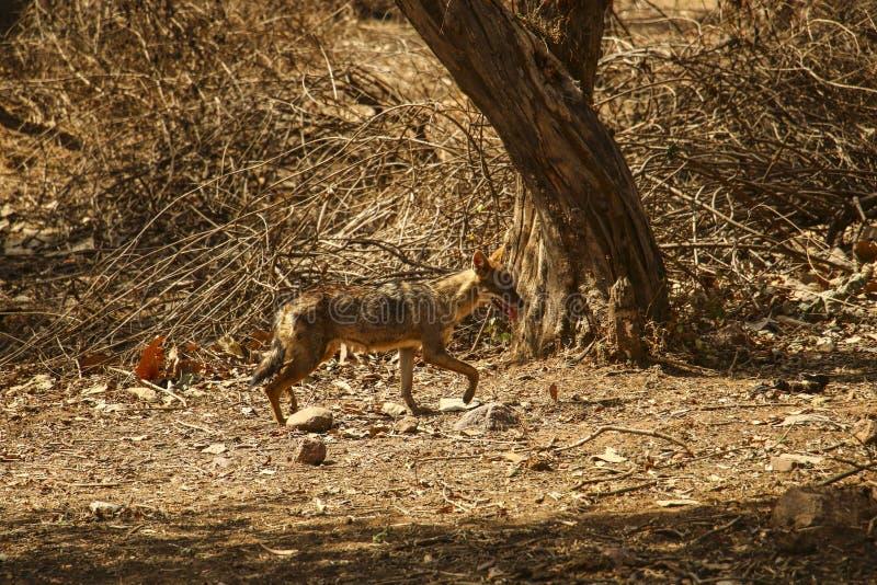 幼小土狼在阳光下在克久拉霍附近的国家公园,  库存图片