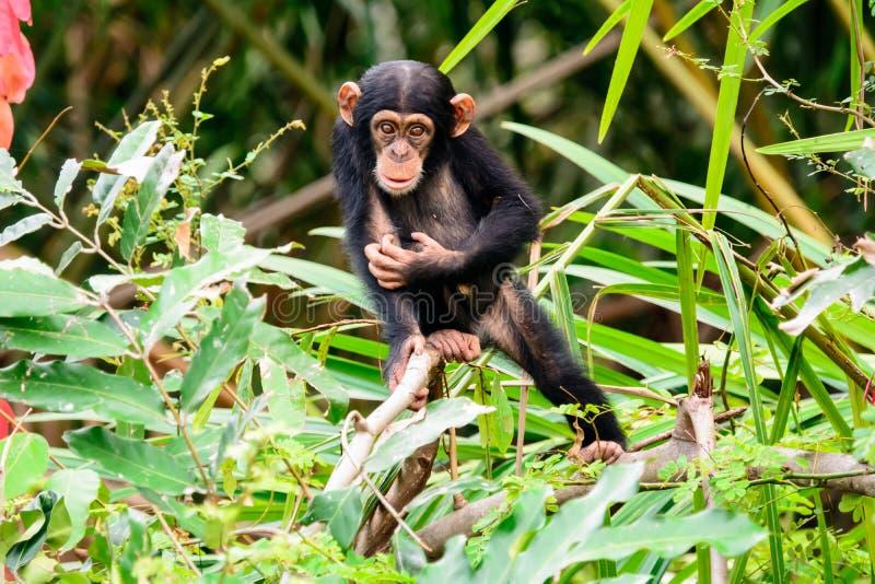 幼小好奇黑猩猩 免版税库存照片