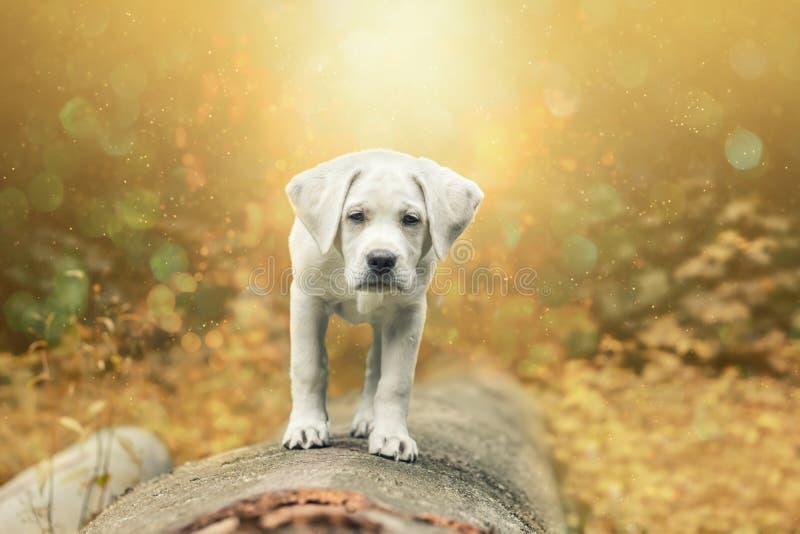 幼小小拉布拉多猎犬狗在日落的森林里 免版税库存照片