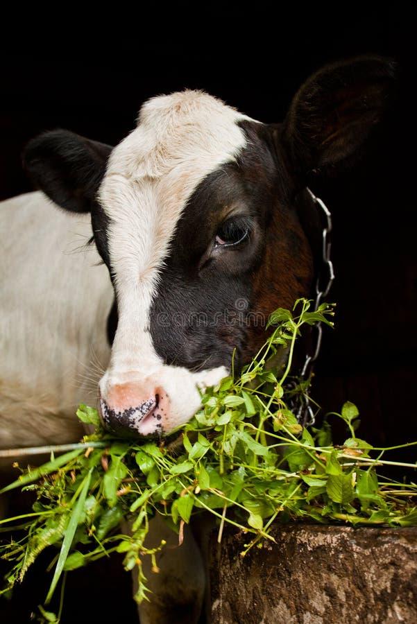 幼小小牛 免版税库存图片