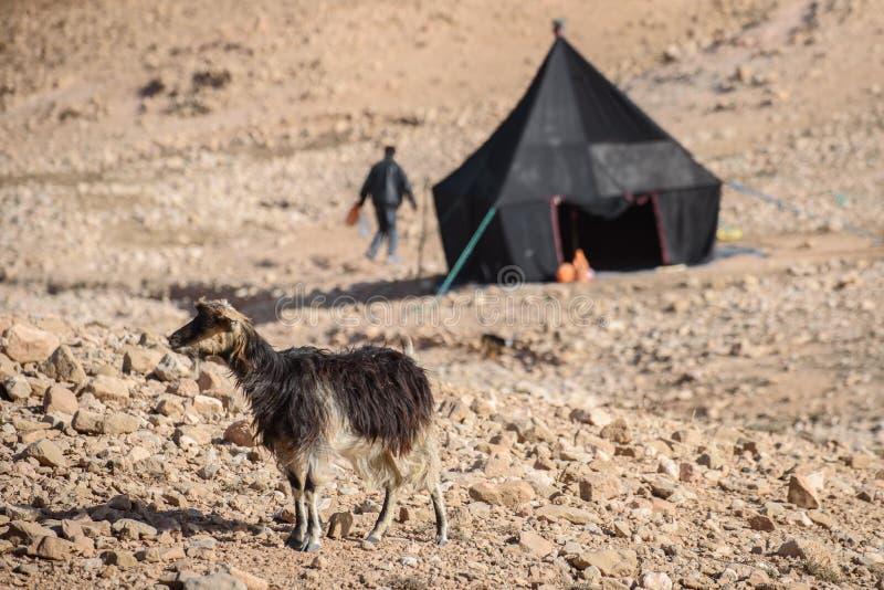 幼小山羊在阿特拉斯山脉,摩洛哥 库存图片
