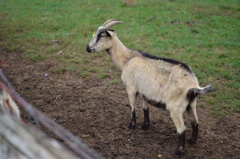 幼小山羊 库存照片
