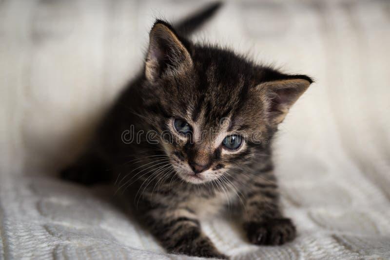 幼小平纹雄猫小猫调查照相机 库存照片