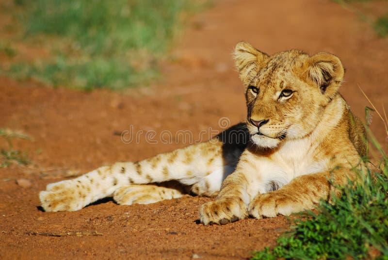 幼小幼狮 库存图片