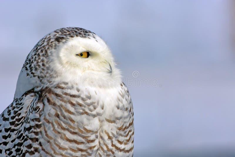 幼小成人斯诺伊猫头鹰Haed与美丽的黄色眼睛的 库存照片