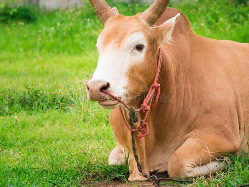幼小战斗的公牛放松和反刍动物 免版税库存图片