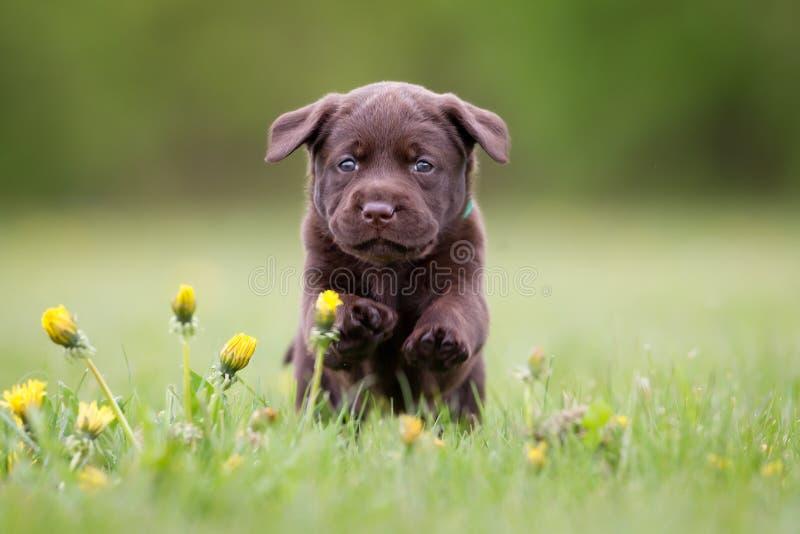 幼小拉布拉多猎犬小狗 免版税图库摄影