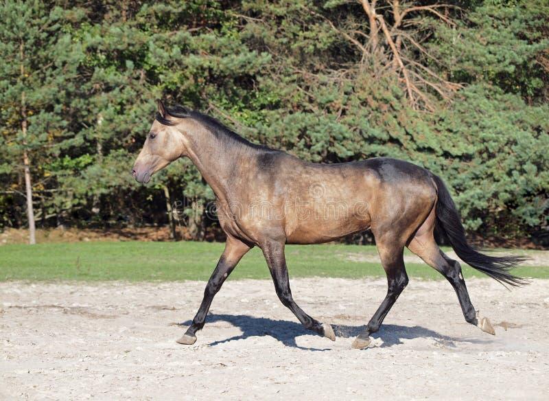 幼小暗褐色马在沼地小跑 图库摄影