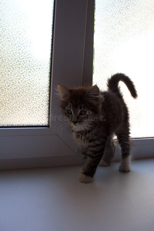 幼小棕色沿窗口的猫优美的步行 免版税库存照片