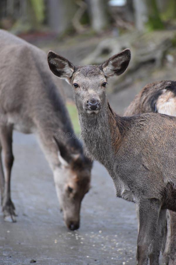 幼小棕色马鹿的特写镜头在一个森林里在德国 库存图片