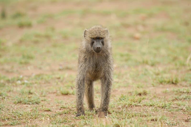 幼小橄榄色的狒狒 免版税库存图片