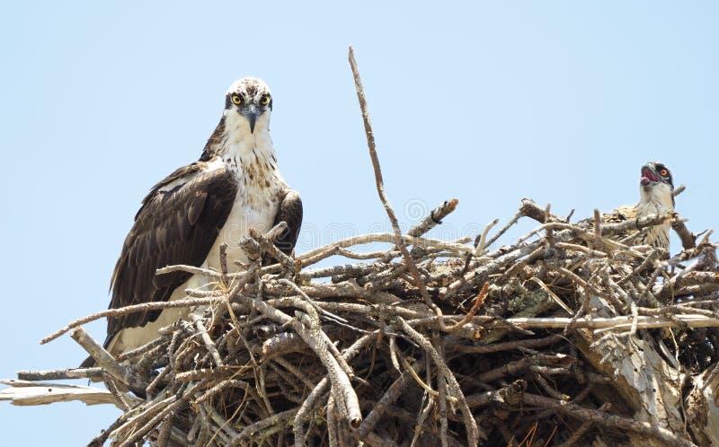 幼小母亲白鹭的羽毛和它在巢的` s单一小鸡 免版税库存图片