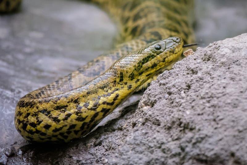 幼小水蟒蛇 免版税库存照片