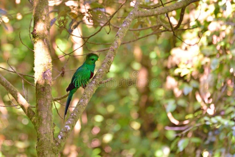 幼小灿烂的格查尔在热带森林里在哥斯达黎加 免版税库存照片