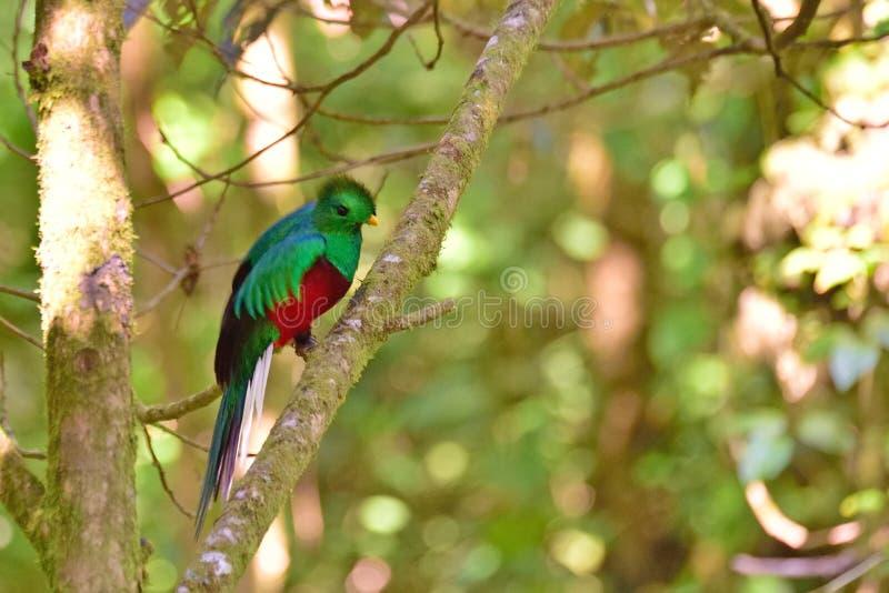 幼小灿烂的格查尔在热带森林里在哥斯达黎加 图库摄影