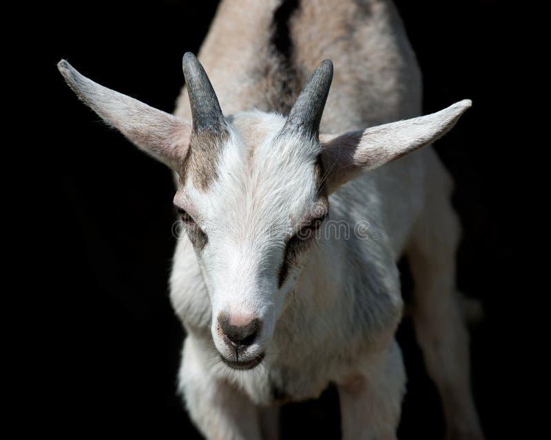 幼小牛奶山羊 免版税库存照片